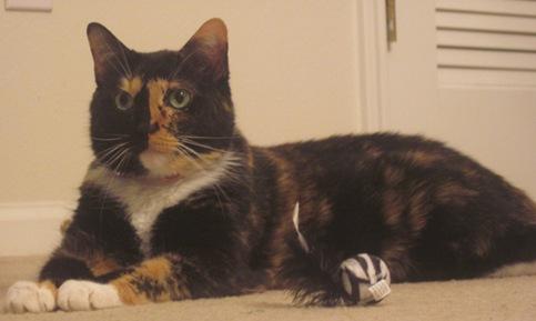 drama tortoiseshell cat